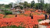 Kebun Bunga Amarilis di Gunungkidul Jogja Sedang Mekar Lho