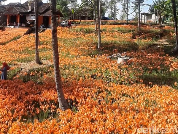 Di era new normal ini, pengunjung kebun bunga amarilis harus memakai masker dan lolos cek suhu tubuh. (Pradito Rida Pertana/detikcom)