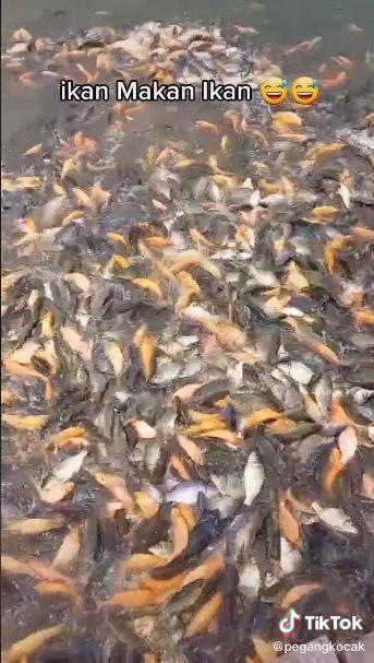 Ngakak! Pria Ini Iseng Kasih Makan Ikan dengan Ikan Goreng Sambal