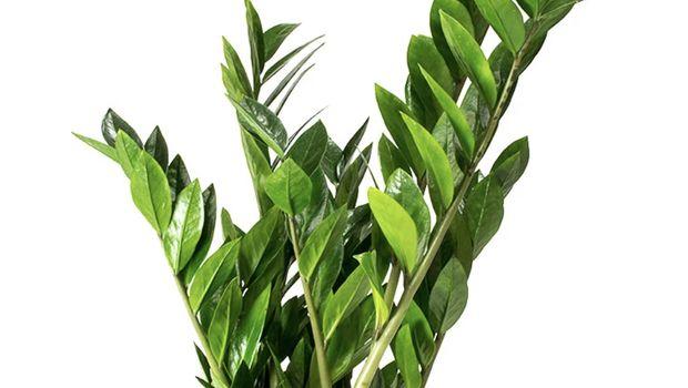 ZZ (Zamioculcas Zamiifolia)