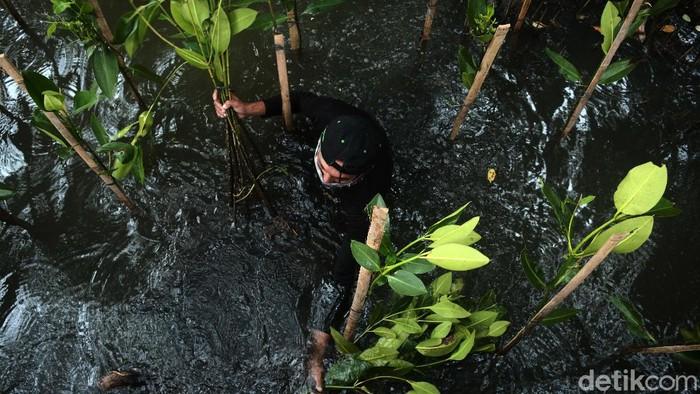 Penanaman hutan bakau menjadi penting sebagai pelindung daratan di kawasan pesisir pantai Jakarta