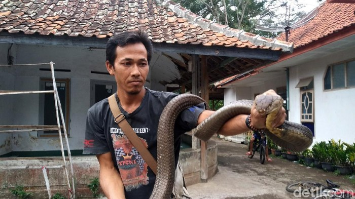 Rinto, warga Desa Windujanten, Kuningan, Jabar, memiliki king cobra ukuran cukup besar. Saking besarnya, orang yang menyebut ular itu sebagai kembaran dari 'Garaga'.