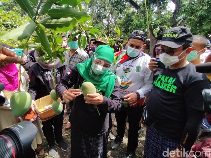 Gubernur Jawa Timur, Khofifah Indar Parawansa panen mangga alpukat