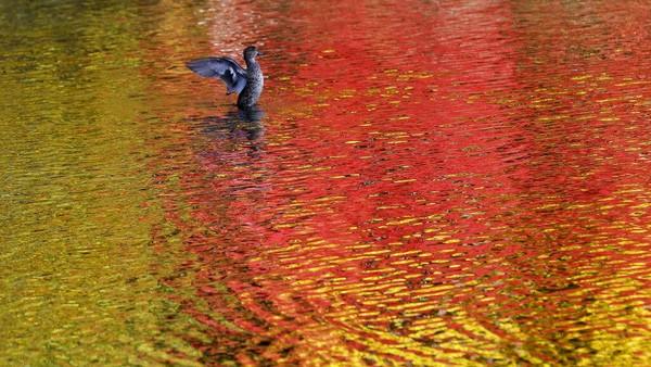 Seekor bebek melebarkan sayapnya di kolam saat warna dedaunan musim gugur tercermin di air.
