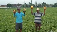 Ini Alasan Petani di Jombang Hancurkan Semangka dan Blewah Hasil Panen