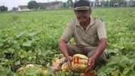 Ini Pemicu Gagal Panen Hingga Petani di Jombang Hancurkan Semangka dan Blewah