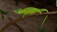 Setelah 1 Abad, Bunglon Langka Madagaskar Kembali Ditemukan