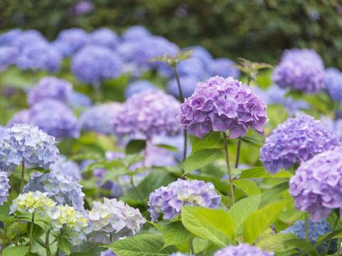 Flower bed full of blossoming blue and purple Hydrangea.