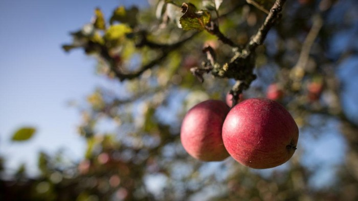 WEDMORE, ENGLAND - OCTOBER 03:  Apples are pressed to make traditional cider at Lands End farm in the village of Mudgley on October 3, 2017 in Somerset, England. The farm has been owned by the Wilkins family for 100 years and has been a traditional cider maker for decades. Westcountry apple growers say 'perfect' weather conditions in 2017 have made for a bumper crop for making cider, thanks to a hot summer, cold winter and damp end to growing season. The farm has been owned by the Wilkins family for 100 years and has been a traditional cider maker for decades. Westcountry apple growers say 'perfect' weather conditions in 2017 have made for a bumper crop for making cider, thanks to a hot summer, cold winter and damp end to growing season.  (Photo by Matt Cardy/Getty Images)