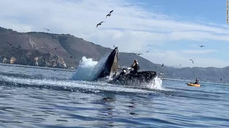 Kayaker hampir ditelan paus bungkuk