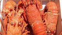 Ini Manfaat dan Kandungan Gizi Daging Lobster