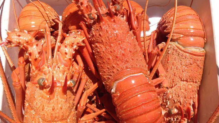 Lobster Australia Ditahan Bandara China di Tengah Meningkatnya Selisih Dagang Kedua Negara
