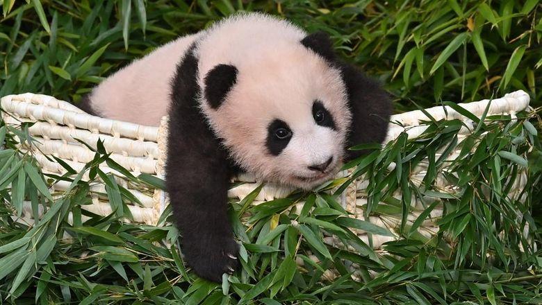 Panda Fu Bao lahir 107 hari lalu di Korea Sleatan di Everland Amusement and Animal Park di Yongin. Foto diambil pada 4 November 2020. (Photo by Jung Yeon-je / AFP)