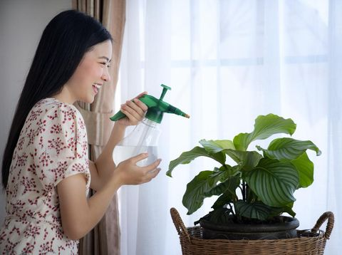 Asian girl Water the plants in house, this image can use for Calathea orbifolia, Water the plants, fertilizer and house plants concept.