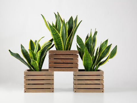 Wooden boxes with sansevieria plants on white background