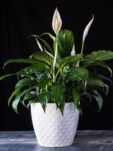 Peace Lily in white flower pot on wood with black background. spathiphyllum houseplant for Valentines Day