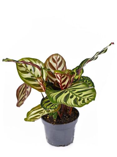Exotic tropical 'Calathea Makoyana' Prayer Plant with beautiful stripe and dot pattern and dark and light green color in pot isolated on white background