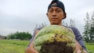 Curhat Petani Blewah di Jombang yang Viral Gegara Gagal Panen