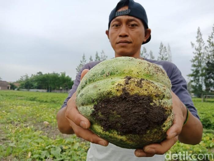 viral petani hancurkan buah