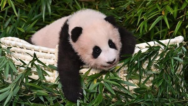 Fu Bao lahir dari induk Ai Bao, panda betina berusia tujuh tahun dan panda jantan Le Bao, yang berusia delapan tahun.