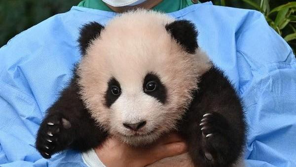 Fu Bao tampak sehat dan bahagia, meskipun sedikit pemalu, saat penjaga kebun binatang memperkenalkannya kepada anak-anak.