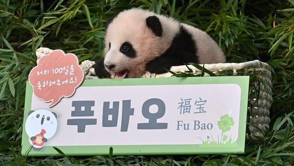 Fu Bao lahir tiga bulan lalu di taman marasatwa Everland, Yongin.