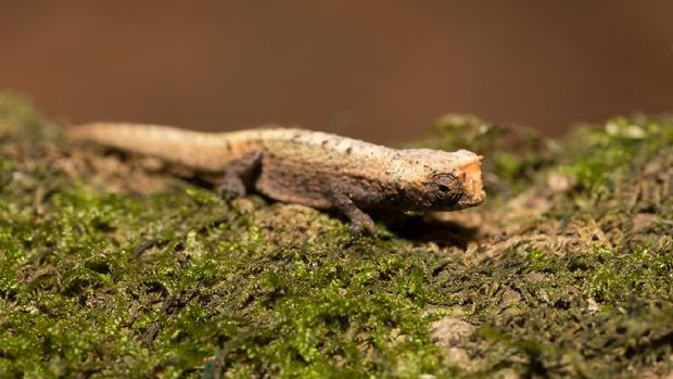 Brookesia micra, bunglon terkecil dunia