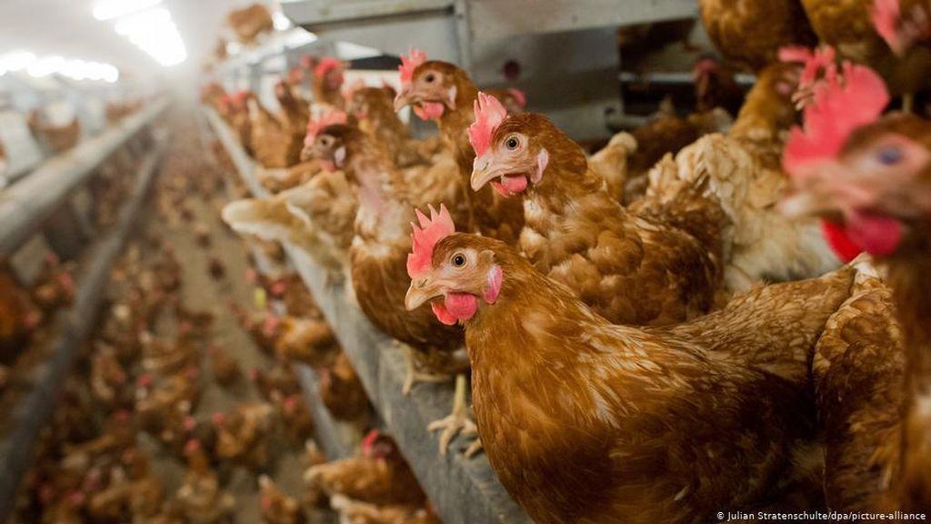 Laporan Rusia soal Pertama Kalinya Flu Burung H5N8 Menular ke Manusia