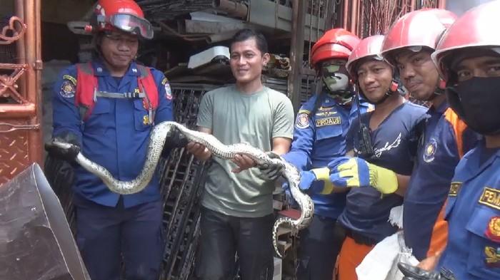 Petugas damkar evakuasi ular sanca dari rumah warga di Makassar