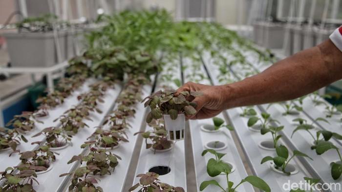 Sebuah area di kawasan Sunter Agung, Jakarta, dimanfaatkan jadi lahan pertanian. Ada beragam tanaman yang ditanam di sana mulai dari sayuran hingga tanaman obat