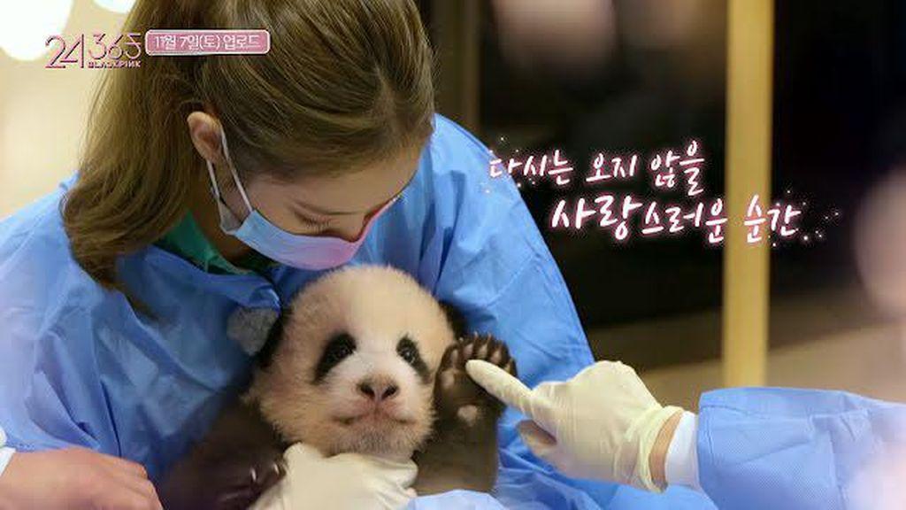Blackpink Diinvestigasi karena Dituduh Membahayakan Bayi Panda