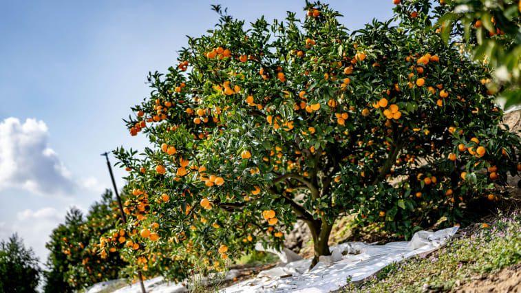 Jeruk mandarin Jepang
