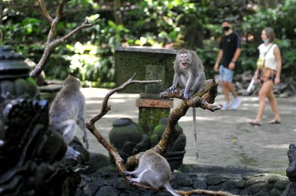 Sesuai dengan namanya di area hutan lindung ini kamu bisa bertemu dengan kera ekor panjang. Di sini juga ada pura yang berada di tengah hutan. Destinasi ini berada di Jalan Monkey Forest, Ubud, Kecamatan Ubud, Kabupaten Gianyar. (ANTARA FOTO/FIKRI YUSUF)