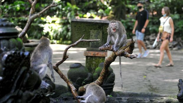 Monkey Forest Ubud di kawasan Gianyar, Bali, kembali dibuka bagi wisatawan. Objek wisata unggulan di kawasan Ubud itu dibuka dengan terapkan protokol kesehatan.