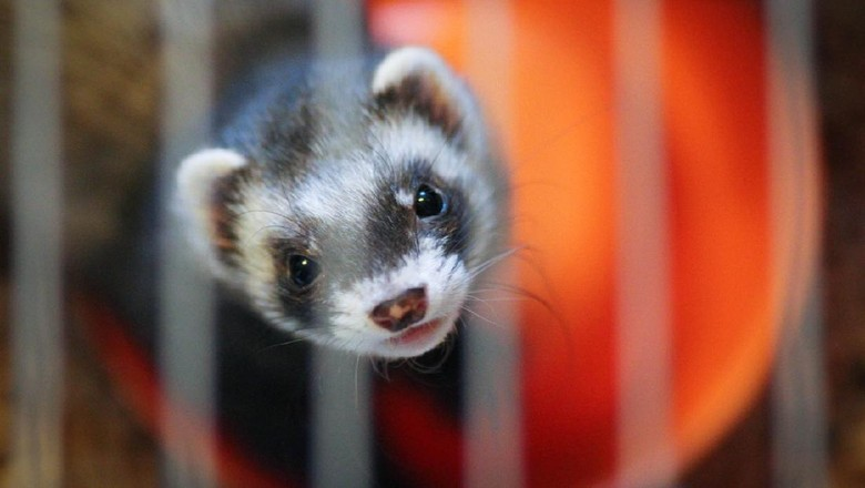 The young weasel in the big cage.
