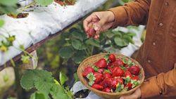 Seru! Di 5 Wisata Petik Buah Ini Bisa Petik Strawberry hingga Buah Naga