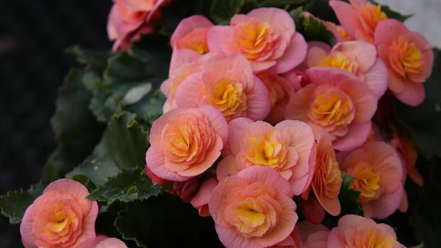 Begonia (Image by Marjon Besteman-Horn from Pixabay)