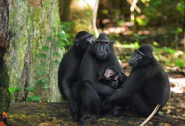 Cagar Biosfir Bunaken Tangkoko Minahasa. Cagar biosfer ini merupakan rumah bagi lebih dari 130 spesies mamalia termasuk tarsius Dian.