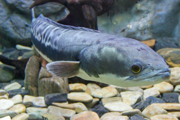 Ikan Gabus jadi Ikan Hias Seharga Rp 35 Juta, Ini Faktanya