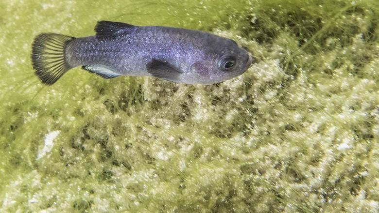Ikan pupfish devils hole