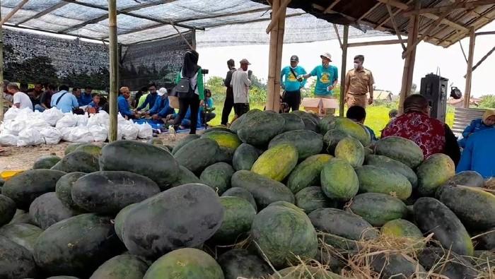 Panen Semangka di Kabupaten Tegal