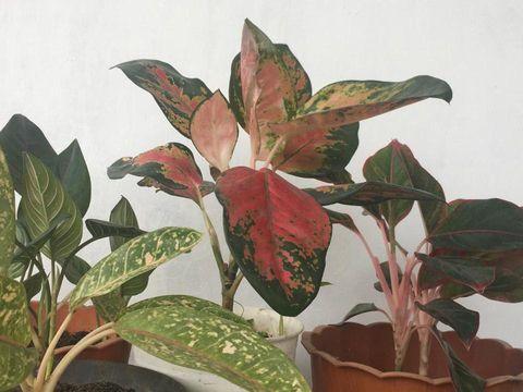 Jenis Aglonema merah yang paling banyak dicari