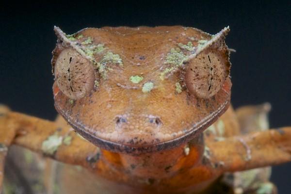Tokek setan ekor daun hidup di hutan tropis Madagaskar, Afrika. (Getty Images/iStockphoto)