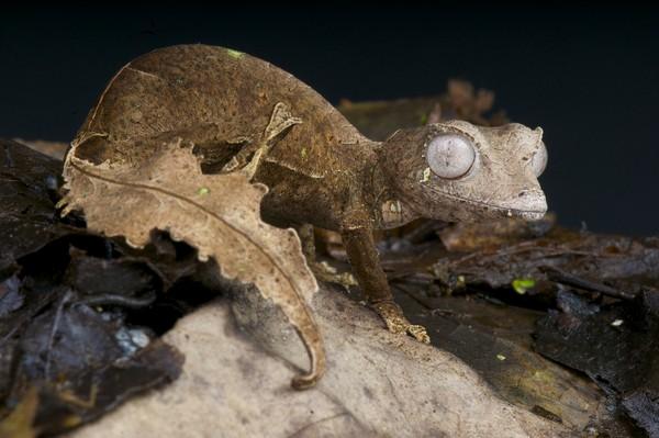 Warga lokal pun takut kalau mendengar tokek setan ekor daun marah. (Getty Images/iStockphoto)