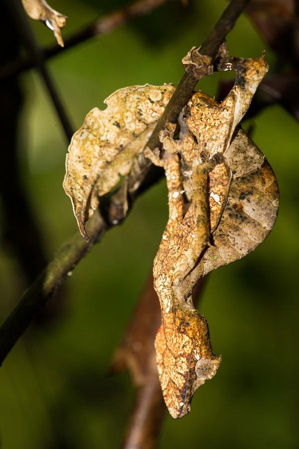 Nama ekor daun diberikan karena tokek ini punya ekor yang mirip daun kering. (Getty Images/iStockphoto)