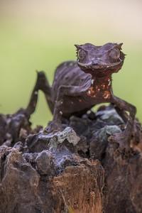 Mereka bisa berkamuflase layaknya bunglon. (Getty Images/iStockphoto)