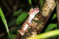 Kalau ke Madagaskar coba deh ajak warga lokal buat mencari tokek langka ini, siapa tahu ketemu buat difoto. Jangan dibawa pulang, ya! (Getty Images/iStockphoto)