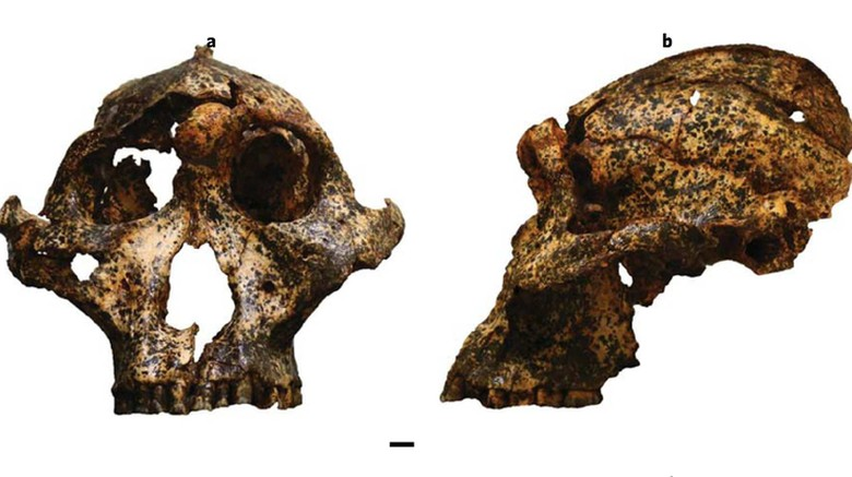 Fosil Paranthropus robustus, sepupu Manusia Ditemukan di Afsel