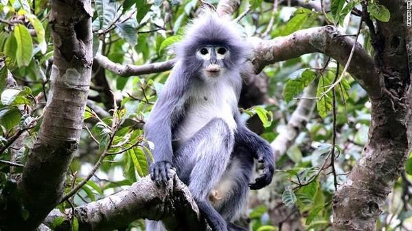 Primata yang ditemukan dinamai Lutung Popa. Adalah sejenis monyet dengan ekor panjang, ada lingkaran di area mata, dan memiliki jambul bulu di atas kepalanya (Foto: CNN)