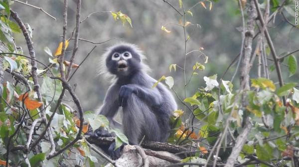 Peneliti telah menamai ratusan hewan atau spesies baru pada tahun 2020.Di antara spesies yang baru dideskripsikan tahun ini adalah Popa Iangur (Trachypithecus popa). Spesies monyet ini hidup di lereng gunung berapi yang telah mati di Myanmar.